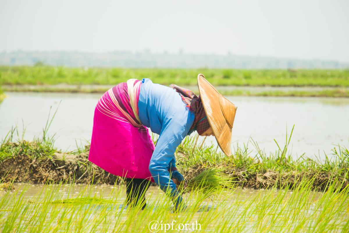 Rice cultivation in Shan State.
