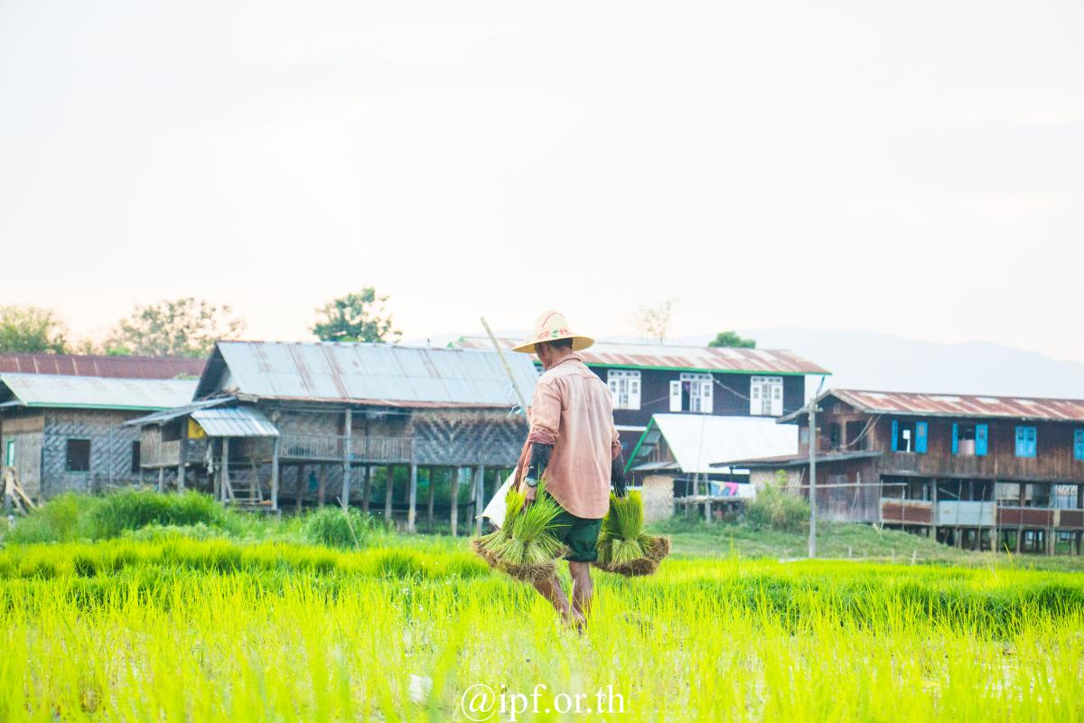 A men collects rice plants from the nursery field.